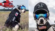 最帅机场护卫犬:世界上最酷的边牧,它的工资一年上万美金